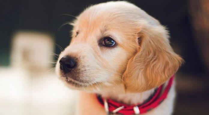 Cara Menyucikan Najis Anjing