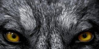 Syetan Bagaikan Serigala Kawanan Kambing – H.R Ahmad