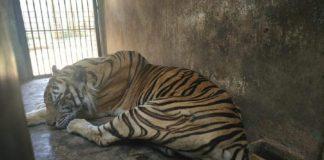 Viral Harimau Terlihat Kurus dan Begini Pandangan Islam