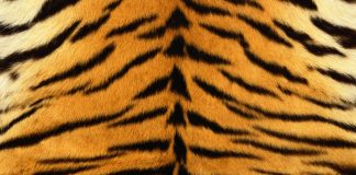 Fashion Islami: Larangan Menggunakan Kulit Macan oleh Rasulullah