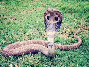 pawang ular tewas 1