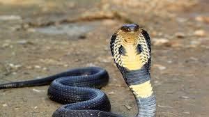 pawang ular tewas